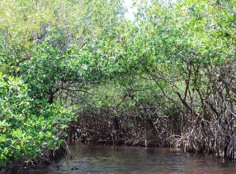 Eintritt in die Everglades Mangrove Tree Sümpfe von Florida stockfotos