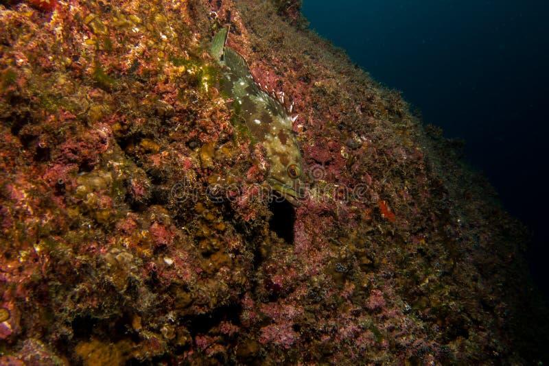 Einzelne Barschfische im Riff lizenzfreies stockfoto