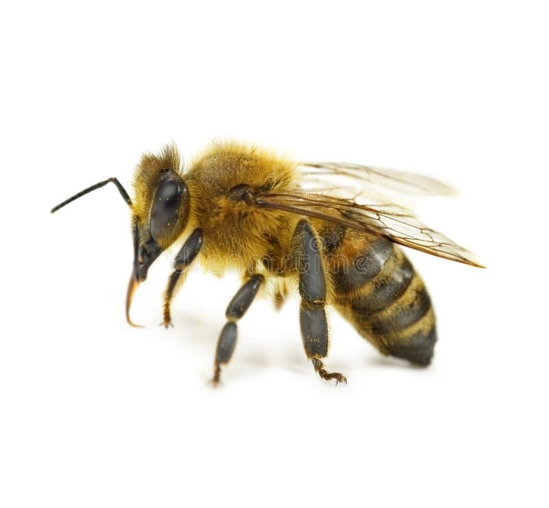 Einzelne Bienen-Nahaufnahme stockfotografie