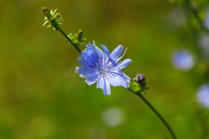 Einzelne blaue Zichorie-Blume stockfotos