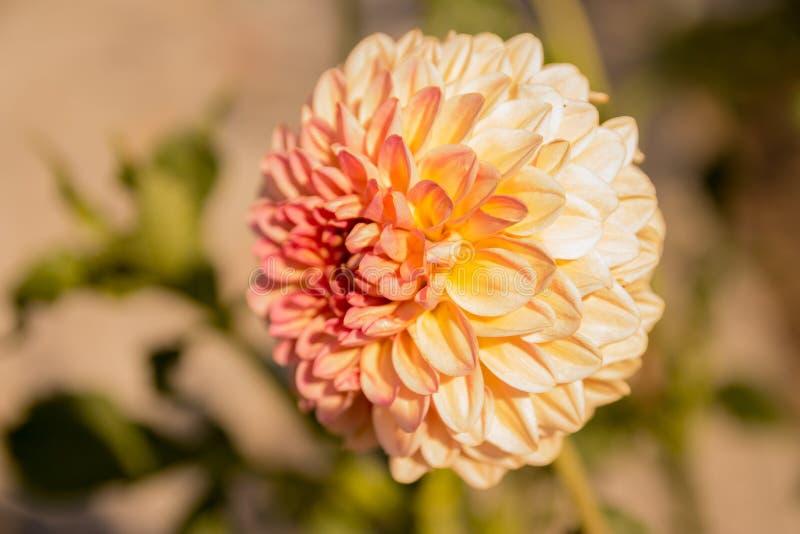 Einzelne Blume im Garten, in der Dahlie, im Rosa und in der Orange, Pfirsichfarbe stockfotografie