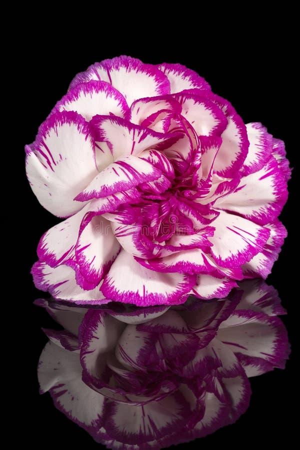 Einzelne Blume von Gartennelke Dianthus auf schwarzem Hintergrund, Spiegelreflexion lizenzfreies stockfoto