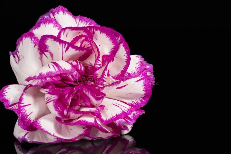Einzelne Blume von Gartennelke Dianthus auf schwarzem Hintergrund, Spiegelreflexion stockfoto