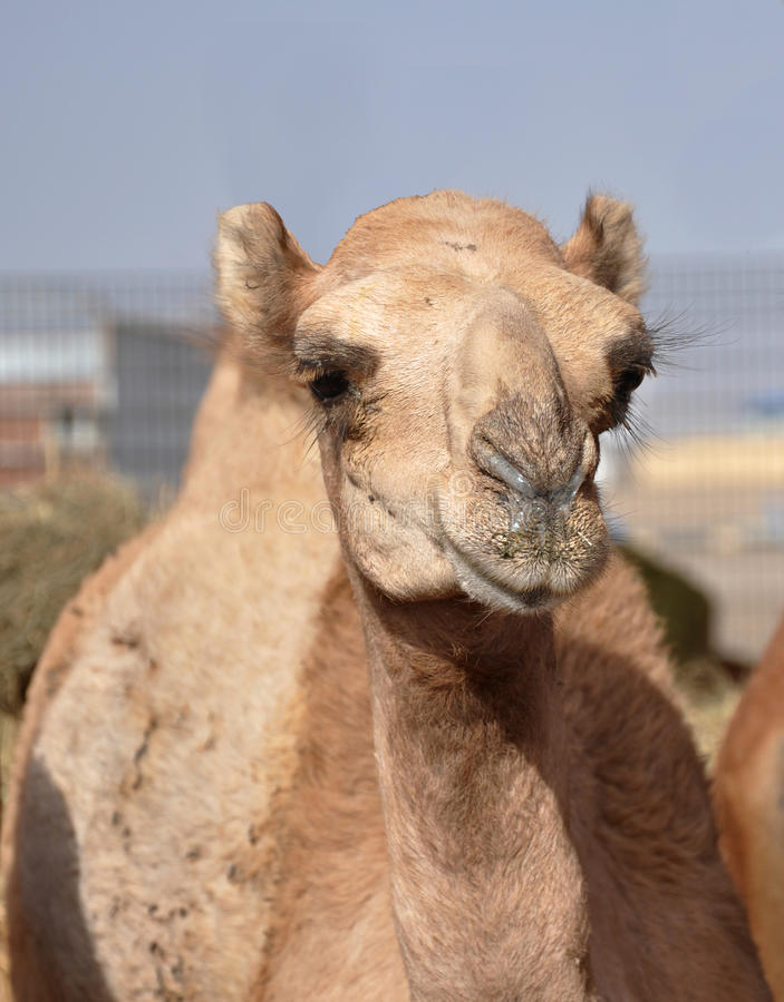 Einzelne Buckel Dromedary Kamele stockfoto