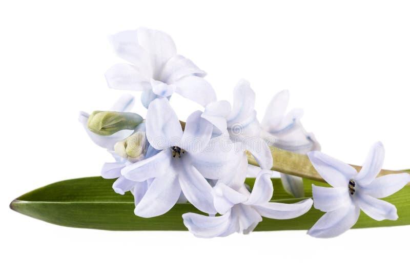 Einzelne Frühlingsblume Der Lila Hyazinthe Auf Weißem Hintergrund ...