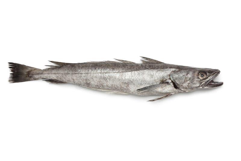 Einzelne frische Hechtdorschfische lizenzfreie stockbilder