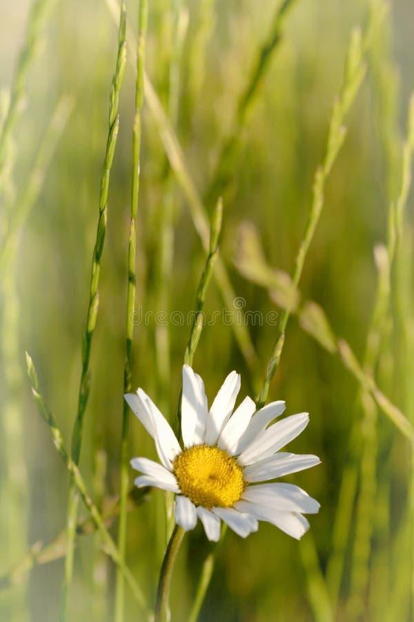 Einzelne Gänseblümchenblume Stockfotografie