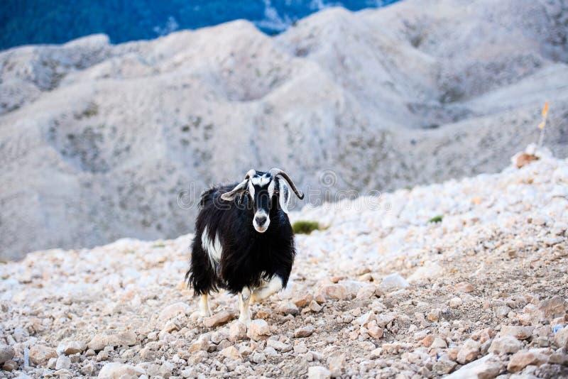 Einzelne Gebirgsziegenstellung auf die Oberseite von Tahtali-Berg, die Türkei lizenzfreies stockbild
