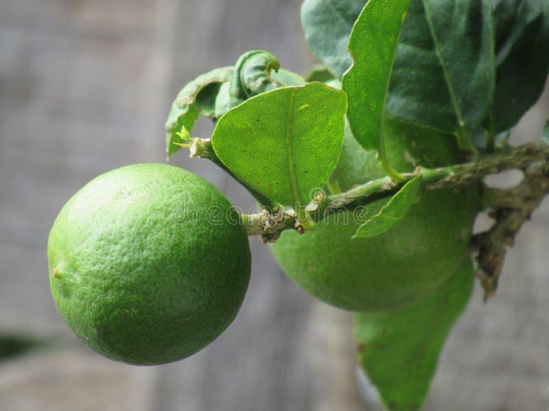 Einzelne grüne Zitrone auf einem Baum lizenzfreie stockfotos