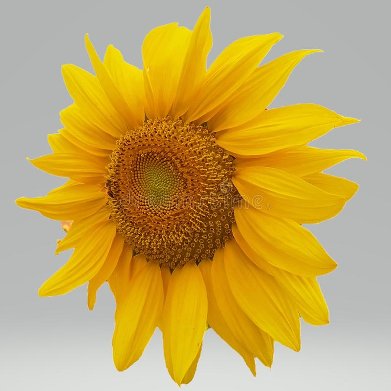 Einzelne große Sonnenblume lizenzfreie stockbilder