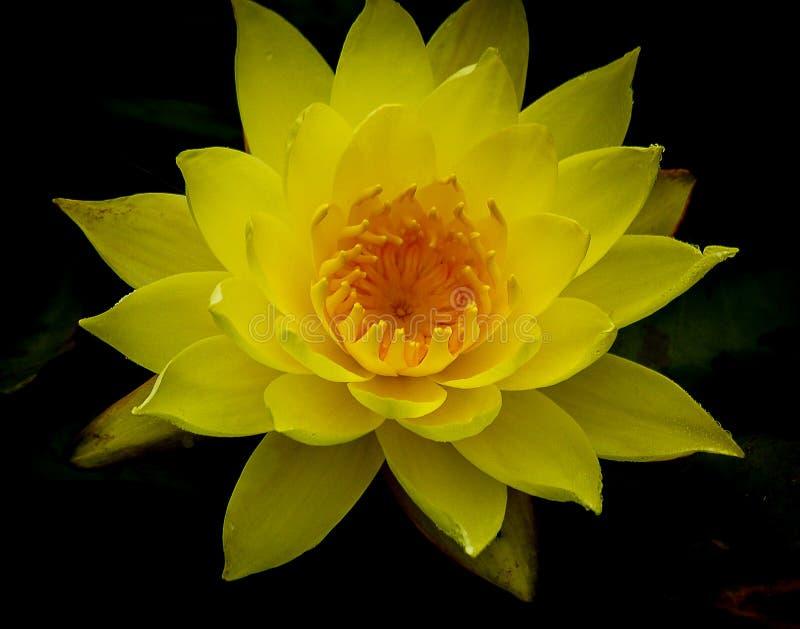 Einzelne klare gelbe Lotosblume in voller Blüte gegen dunklen Hintergrund stockfotografie