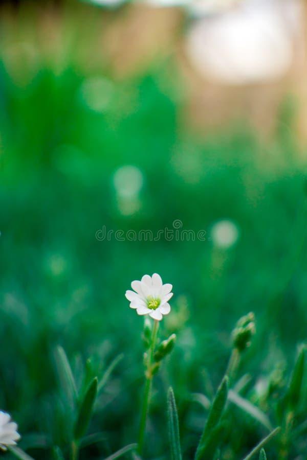 Einzelne kleine kleine weiße Blume in grünes Gras bokeh stockfotos