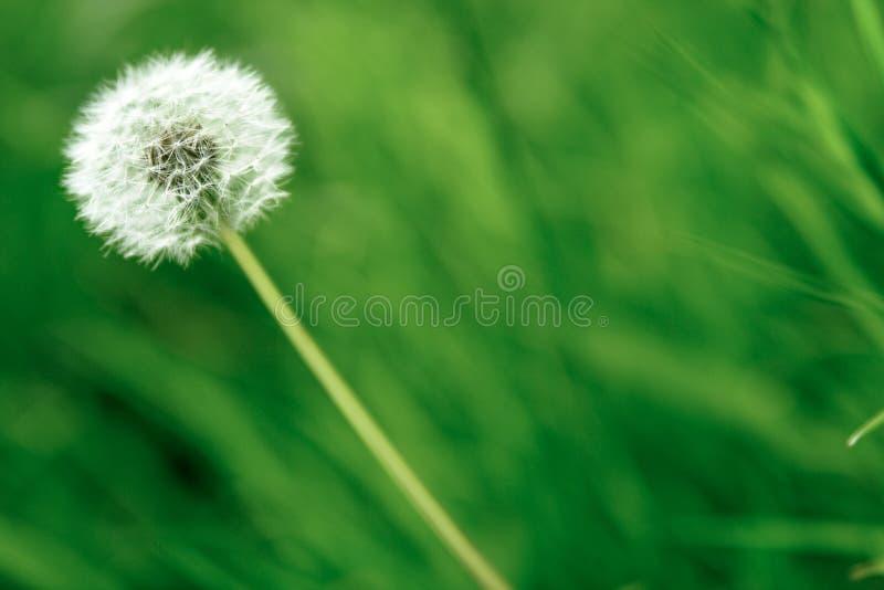 Einzelne Löwenzahnblume stockbilder