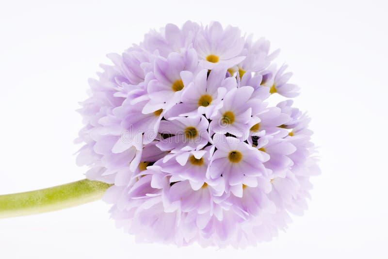 Einzelne lila Frühlingsblume der Primel lokalisiert auf weißem Hintergrund stockfoto