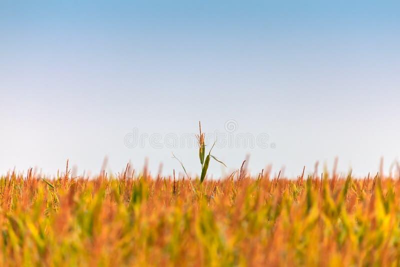 Einzelne Maispflanze, die schneller als die anderen wächst stockfoto