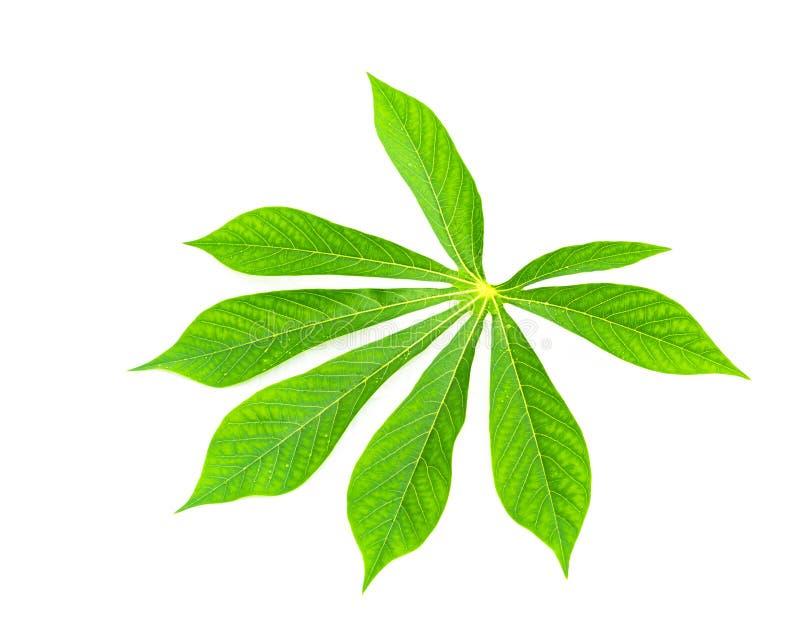 Einzelne Manioka der Nahaufnahme oder essbares Blatt des Manihot lokalisiert auf Weiß stockfotografie