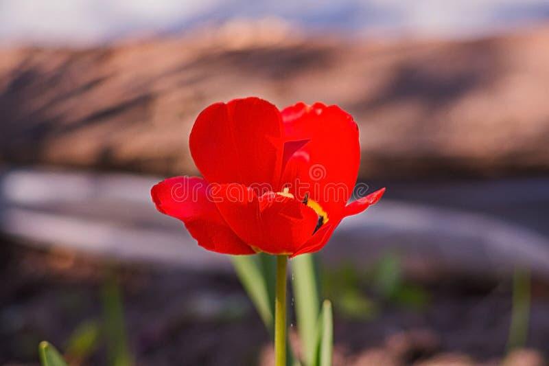 Einzelne Mohnblumenblume lizenzfreie stockbilder