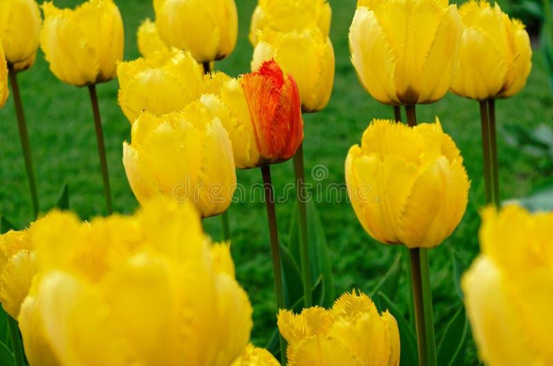 Einzelne multi farbige Tulpenblume innerhalb eines Feldes von gelben Tulpen lizenzfreie stockfotos