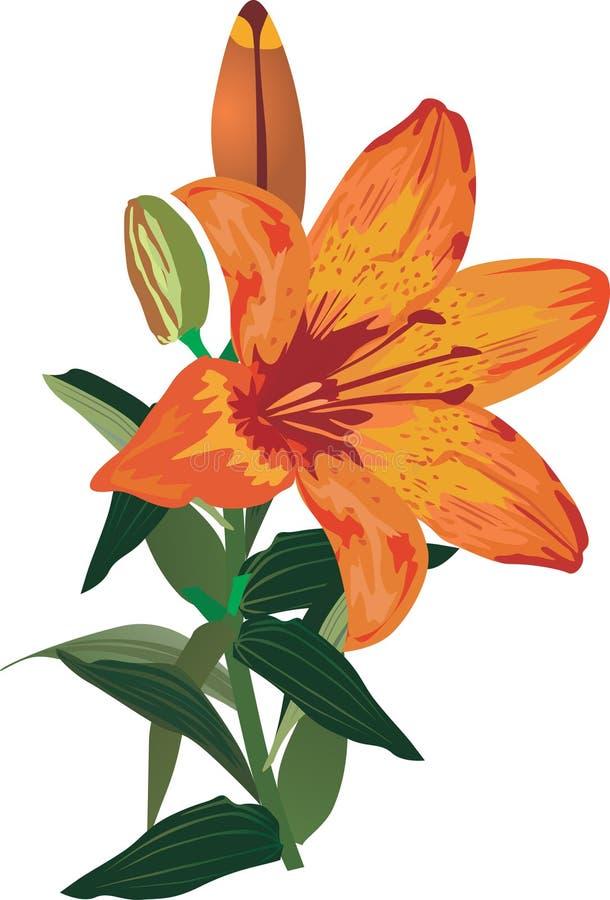 Einzelne orange Lilienblume auf Weiß lizenzfreie abbildung