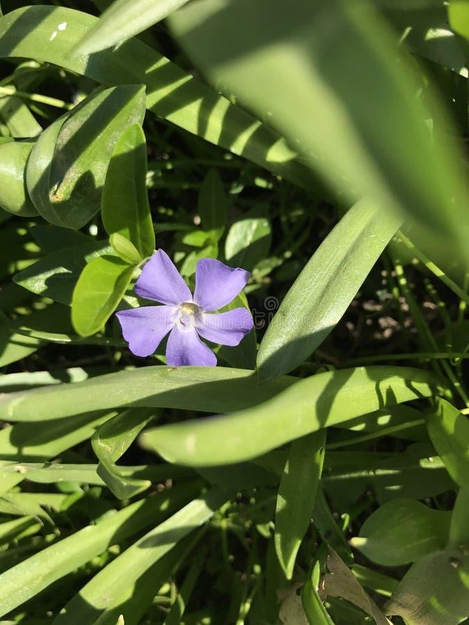 Einzelne purpurrote Blume stockfotos
