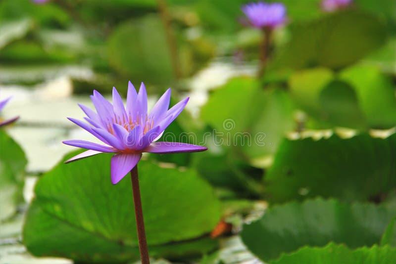 Einzelne purpurrote Lotosblume in der Blüte stockfotos