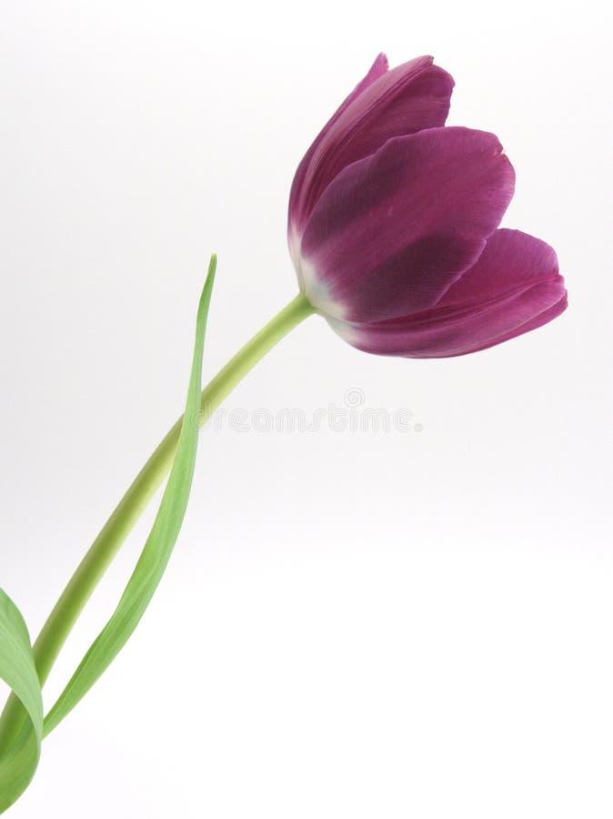Einzelne purpurrote Tulpe stockfoto