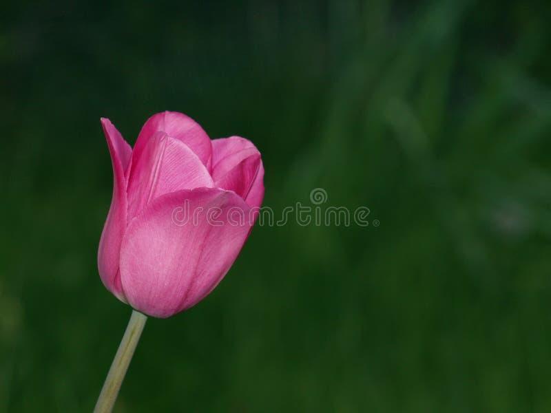 Einzelne purpurrote Tulpe stockfotos