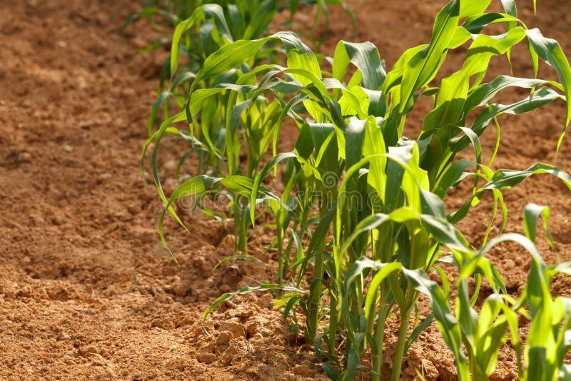 Einzelne Reihe der jungen Maispflanzen in einem Hausgarten stockfotografie