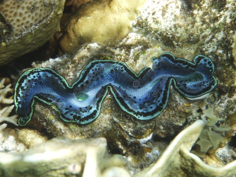 Einzelne Riesenmuscheln auf dem Korallenriff im Roten Meer lizenzfreies stockbild