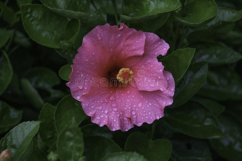 Einzelne rosa Hibiscus-Blume mit Wasser-Tropfen Lokalisiertes rosa Bild des Hibiscus-HD lizenzfreie stockfotos