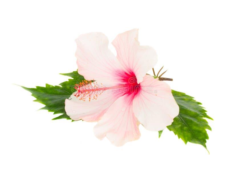 Einzelne rosa Hibiscusblume mit Blättern stockfotografie