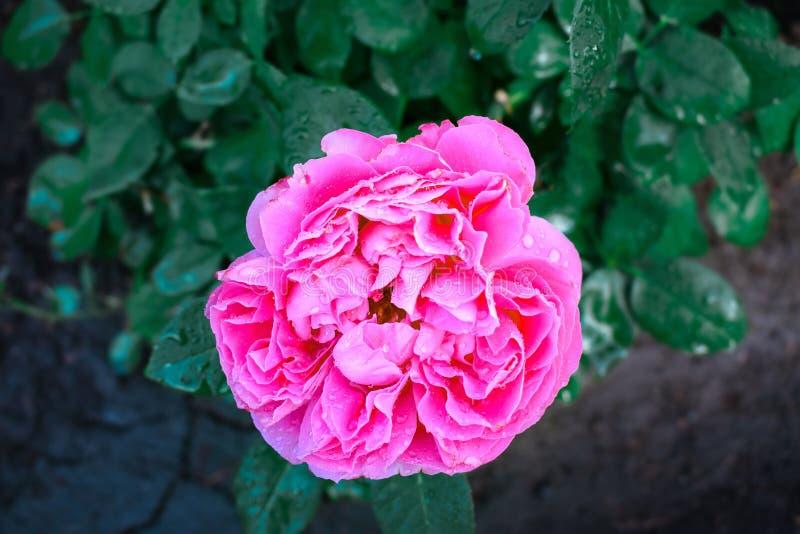 Einzelne rosa Pfingstrosenblume auf einem Hintergrund von grünen Blättern mit Tropfen des Taus des dunklen Lichtes stockbild