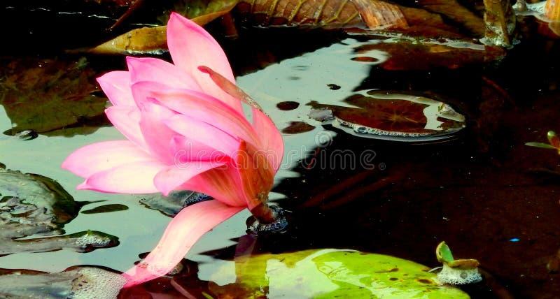 einzelne rosa Seerose auf dem Teich lizenzfreies stockfoto