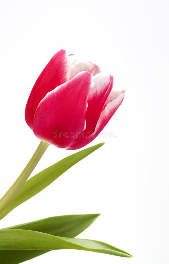 Einzelne rosa Tulpe stockfotos
