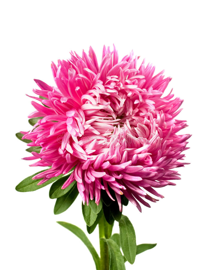 Einzelne rosafarbene Aster stockfotografie