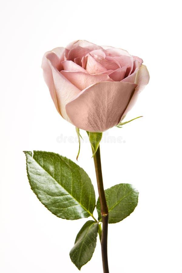 Einzelne rosafarbene Rose stockbild