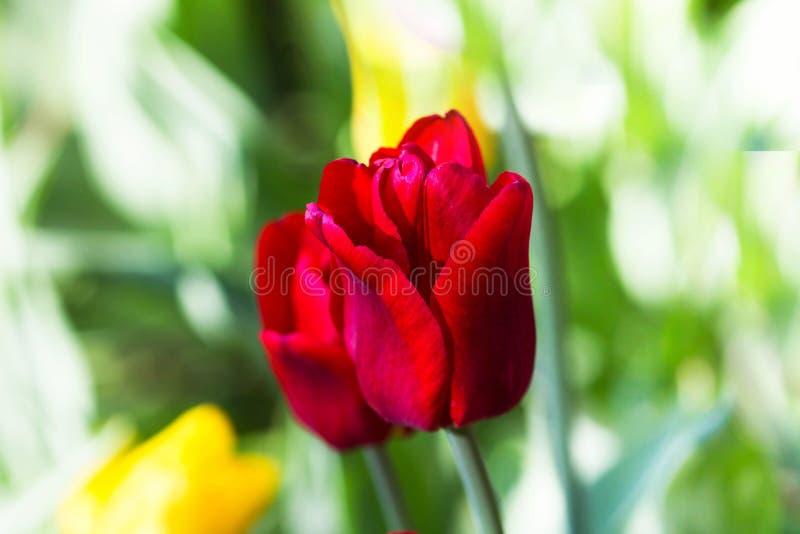 Einzelne rote Blume über buntem unscharfem Hintergrund stockfoto