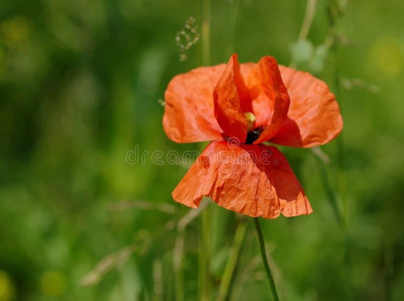 Einzelne rote Mohnblume stockfotografie