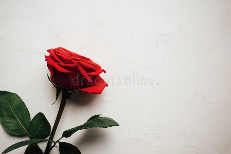 Einzelne rote Rose auf weißem vergipstem Hintergrund, schöne Beschaffenheit, Kopienraum lizenzfreies stockbild