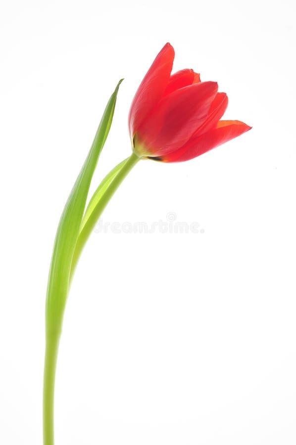 Einzelne rote Tulpe lizenzfreie stockfotos