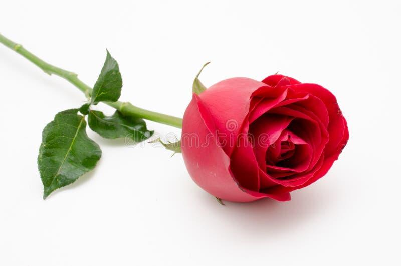 Einzelne Rotrose auf weißem Hintergrund lizenzfreie stockfotos