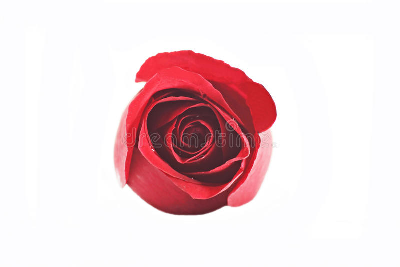 Einzelne schöne Rotrose lokalisiert auf weißem Hintergrund lizenzfreie stockbilder