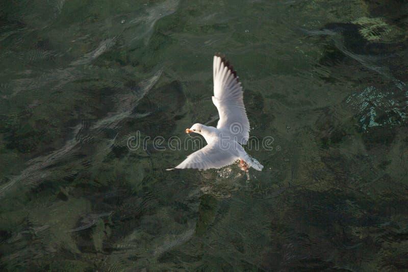 Einzelne Seemöwe, die über Meerwasser fliegt lizenzfreie stockfotografie