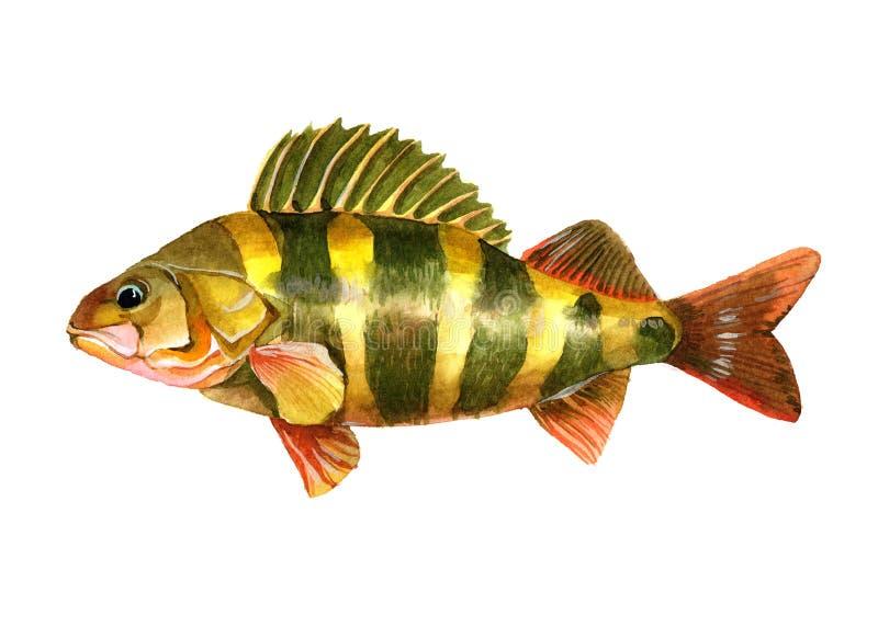 Einzelne Stangenfische des Aquarells lokalisiert stockfotos