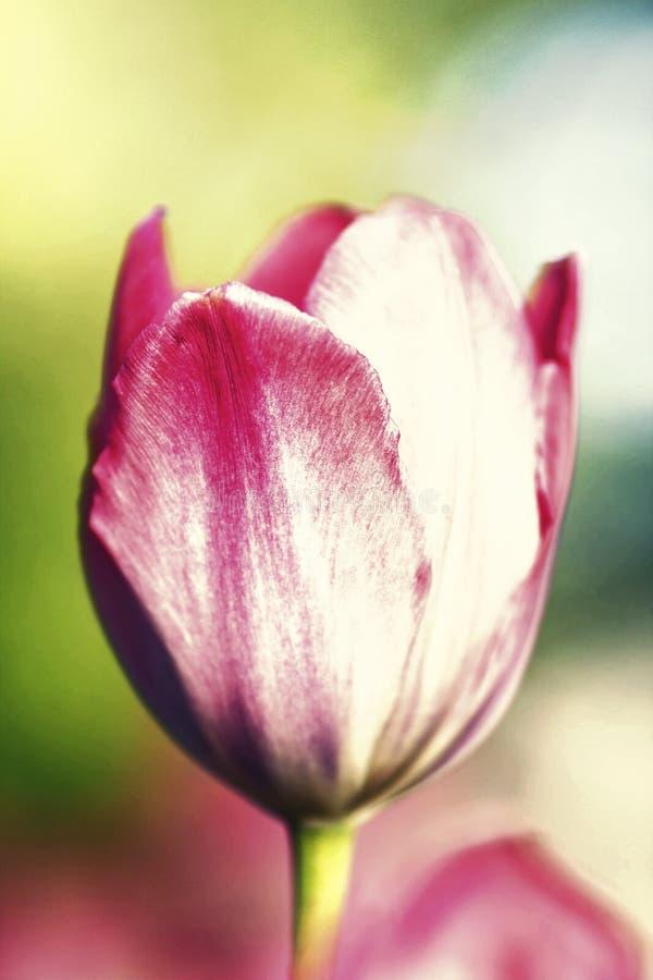 Einzelne Tulpe auf einem Unschärfehintergrund der Natur Sommerblume backg lizenzfreie stockfotos