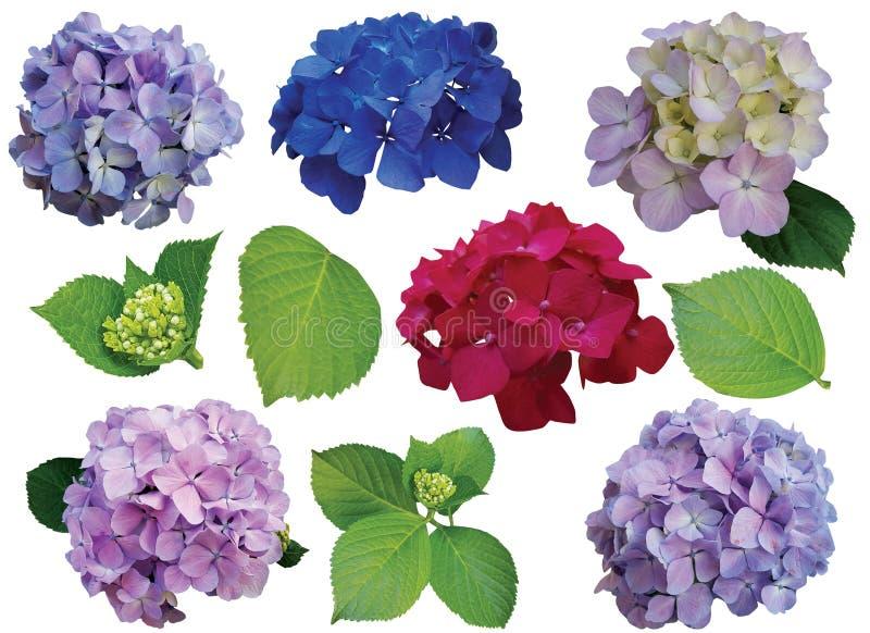 Einzelne verschiedene Hortensieblumen auf weißem Hintergrund stockbild