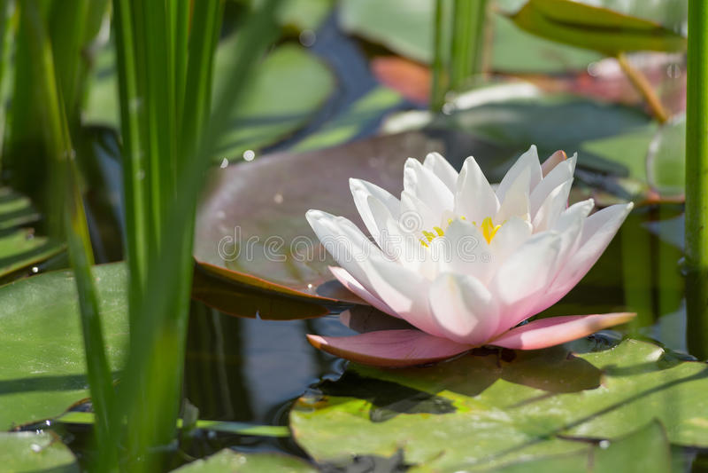 Einzelne weiße und rosa Lotosblume im wilden Teich stockfotografie
