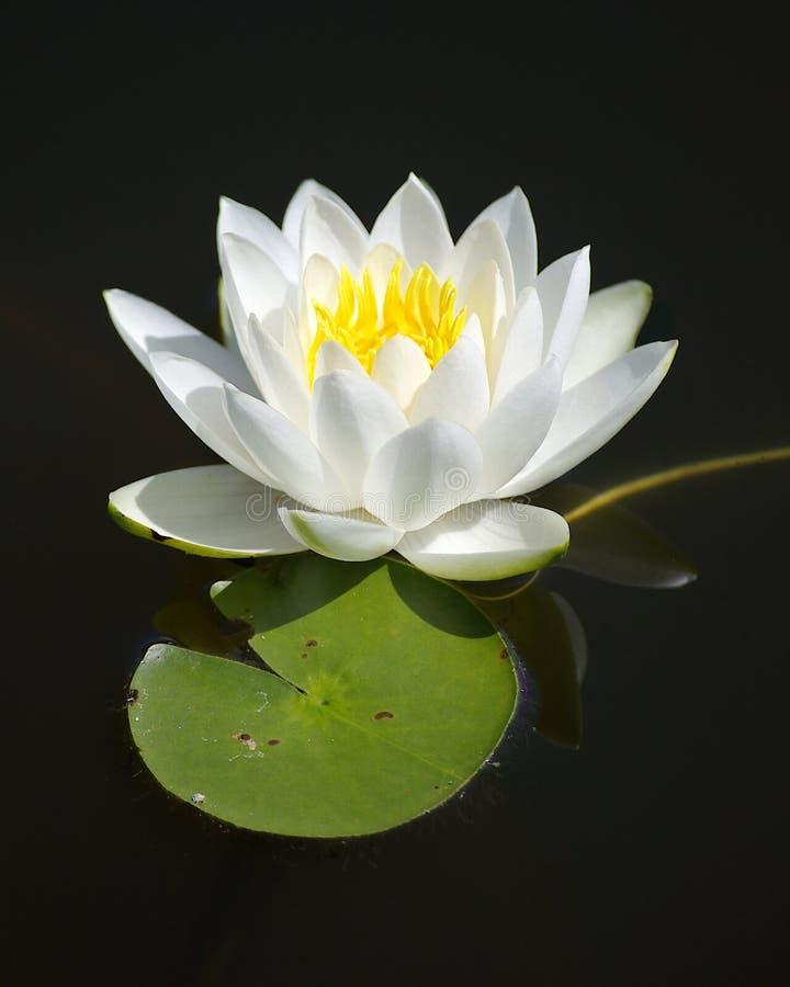 Einzelne weißes Wasser-Lilie lizenzfreie stockfotos
