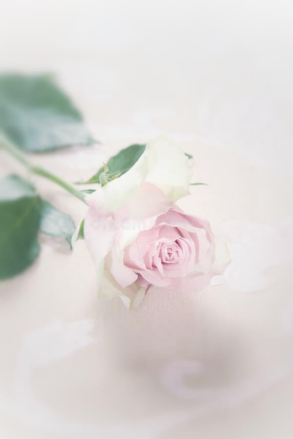Einzelne zerbrechliche verblaßte Rosarose lizenzfreies stockfoto
