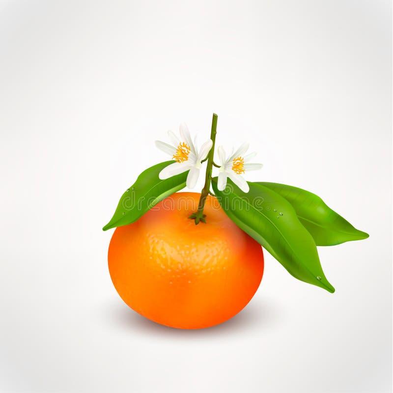 Einzelne Zitrusfruchtmandarine oder -tangerine auf Niederlassung mit grünen Blättern und weißen blühenden den Blumen lokalisiert  vektor abbildung